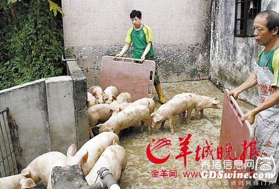 东莞禁止养猪