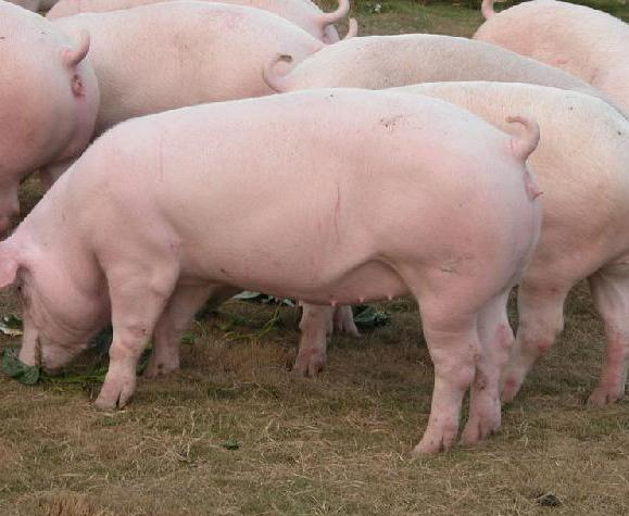 如何加强春季母猪的精细化管理