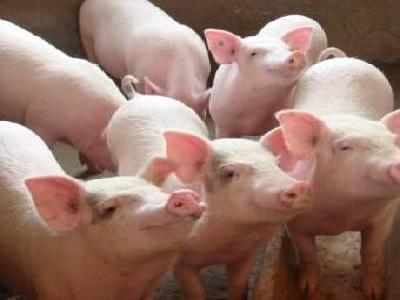 春季猪引种的几个重点注意介绍