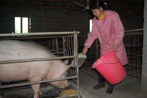 饲料营养―集中猪饲料的调制搭配配方