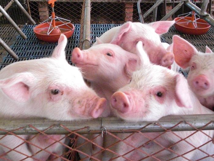 种猪饲料营养的研究分析