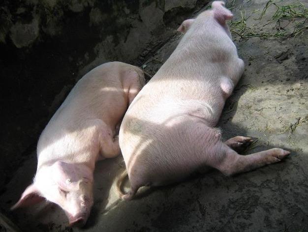 猪饲料中毒的急救