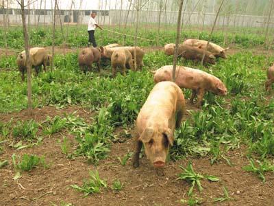 加工猪饲料应注意的问题
