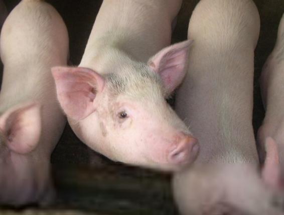 治疗及预防猪高热病的偏方介绍