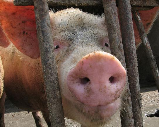 预防猪高热病的两个中药保健方案