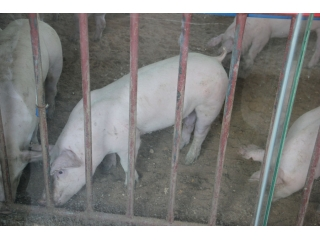 新丹系种猪