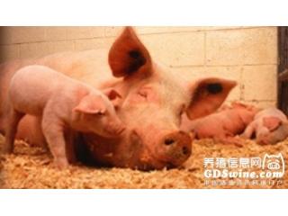 热应激对母猪分娩的影响及应对措施