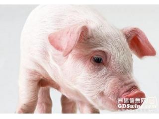 """<b>养猪场""""热应激威胁论""""</b>"""