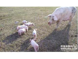 猪贩子昼伏夜出,只为降低热应激
