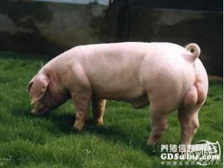 <b>怎样预防种公猪夏季热应激</b>