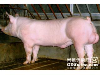降低热应激对公猪繁殖力之影响
