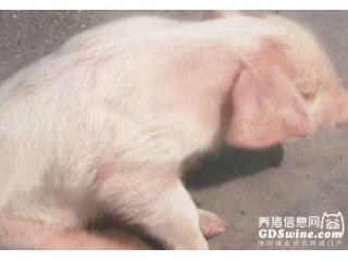 <b>当前猪伪狂犬病的流行现状及建立坚实免疫的关键点</b>