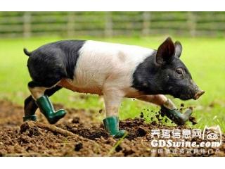 <b>有机酸如何替代抗生素改善猪生长性能?</b>