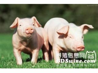 猪支原体肺炎详解