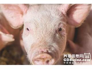 临产母猪怎样管理