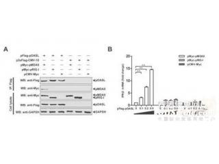 哈兽研发现一新的抗猪瘟病毒分子