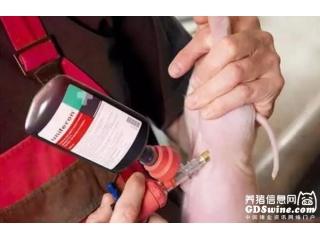 <b>为什么要给仔猪补血?盘点:给仔猪补血的必要原因</b>