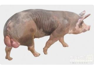猪联合育种为啥联不起来?看完这个你就懂了