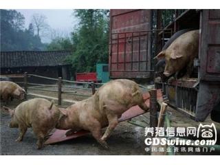 <b>猪价涨跌的真正原因到底是啥?看后吓了一跳!</b>