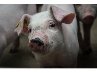 <b>新型养猪业大潮涌来 福利养殖受关注</b>
