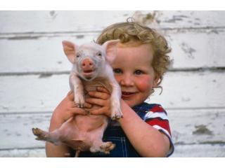 <b>美国为什么能成为养猪第一大国,看看人家的饲料马上明白了</b>