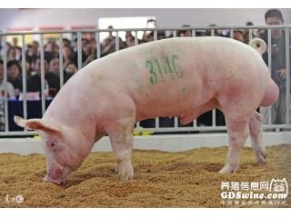 "<b>为什么要从国外引进种猪?""祖代""""商品代""是何意思?</b>"