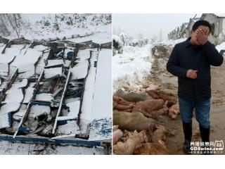 冰雪压塌猪场 养猪大户损失千万掩面痛哭