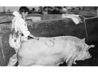 母猪怀孕前后到底该怎么打疫苗?