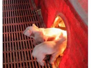 冬季仔猪如何防寒保暖抗应激?
