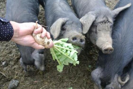 猪吃白萝卜