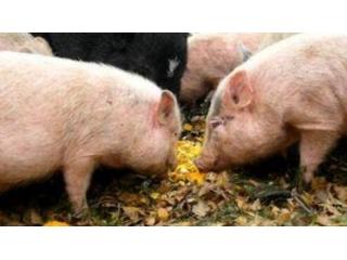 用以下这三种常见的蔬菜养猪,可以使猪长得又快又好!