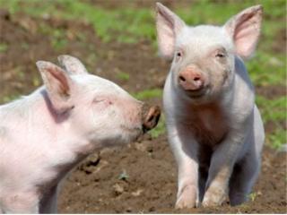 <b>养猪还有前途吗?从丹麦养猪业揭示中国散养户的发展前景...</b>