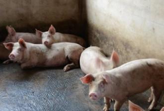 这是临床上常见的慢性病,以初产母猪为主,怎么防和治?