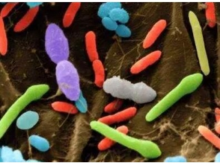 猪胃肠道微生物的多样性能够提高对PRRS和其他呼吸道疾病的免疫功能