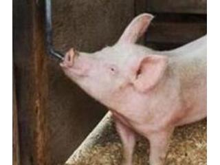 猪饮水不足损失大