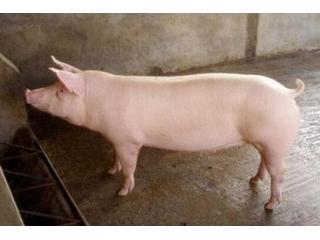 后备母猪的挑选和管理秘籍