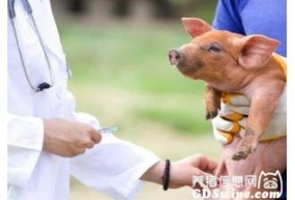 猪免疫出问题疫苗不能总背锅