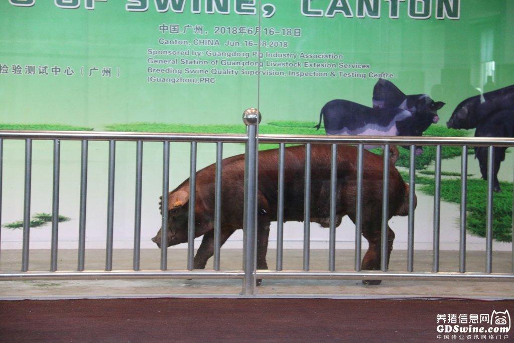 第45届博览会完美闭幕,排出1.5万元的猪王!
