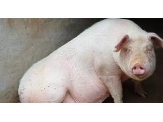 母猪发出求救的信号,一般的养殖户却忽视了!