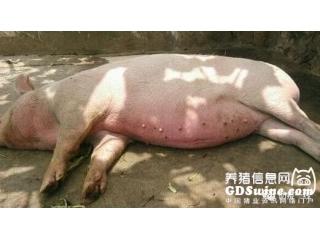 猪中暑的治疗措施(附中药药方)