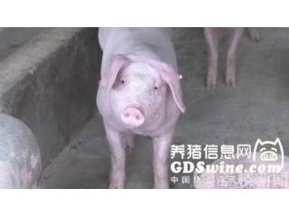 脑筋动歪了 养猪户竟然用死猪来骗保