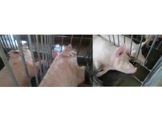 夏季猪群不吃食?教你一套组合拳