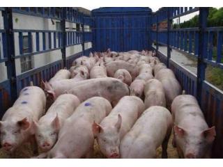 猪群管理中的5个注意事项,你做好了吗?