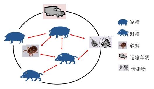 ASFV传播循环