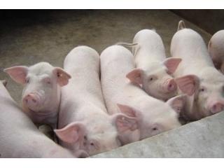 <b>促进生长肥育,使猪快速出栏,优良种猪的选择是关键!!</b>