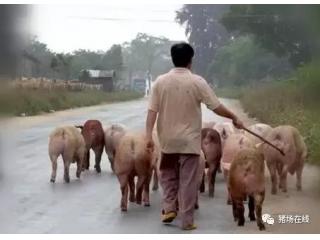 <b>赶猪方法选的对,猪不受罪人不累!</b>