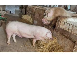 <b>这个猪病能引起各地养猪人的关注,确实不简单</b>