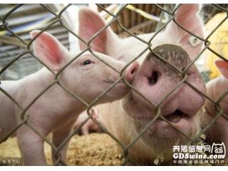 农业农村部:猪价仍将维持季节性回升