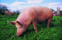 <b>后备母猪配种失败,是不是这些原因造成的</b>
