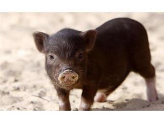 秋季,猪呼吸道疾病的治疗原则